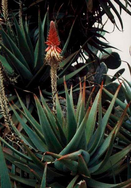 Foto 14. Aloe