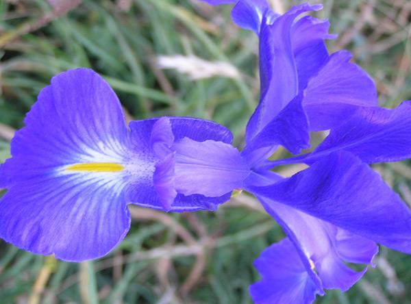 Foto 5 - lirio azul