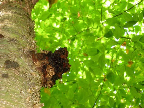hongo chaga sobre una corteza de árbol
