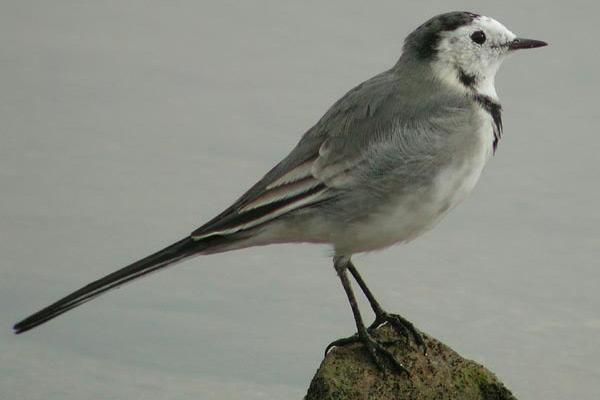 cuereta ave utilizada para la decoración de albarelos