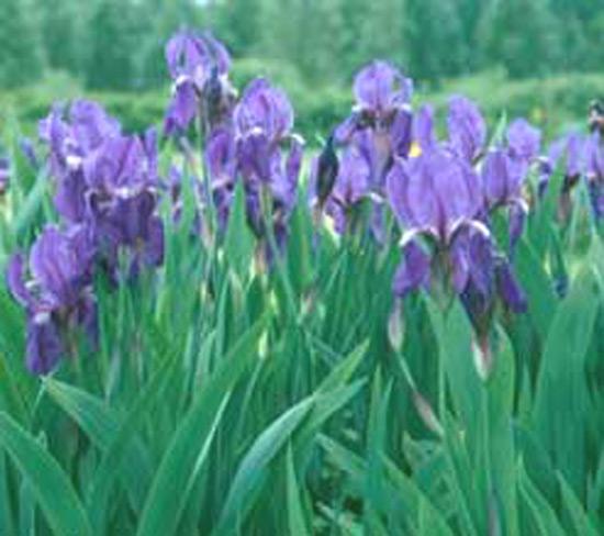 foto de una planta de lirio azul