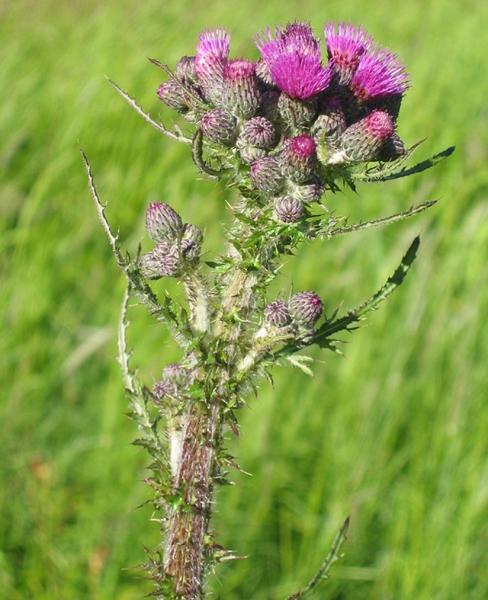 calsida (Cisrum sp.)