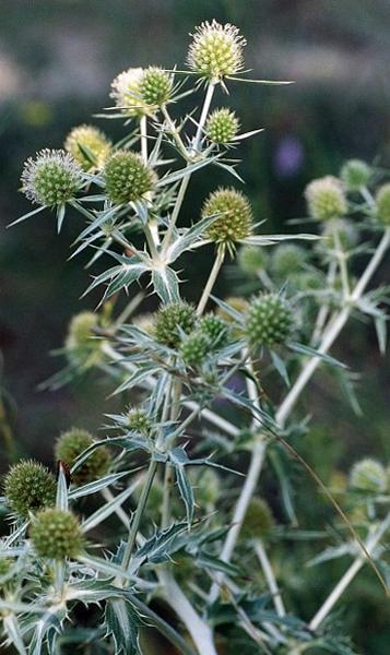 espinacal o panical (Eryngium campestre)