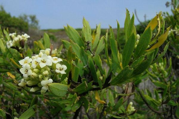 daphne gnidium L., matapoll