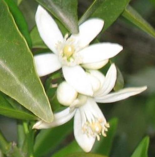 foto de la flor del naranjo
