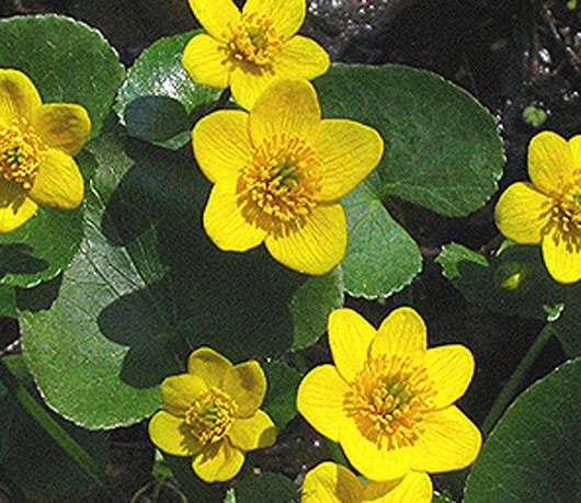 foto de una planta de flor de todos los meses