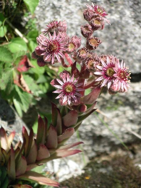 foto de una planta de siempreviva