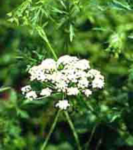 foto de una planta de pimpinela